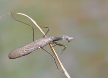 женские viridis sphodromantis стоковые фотографии rf