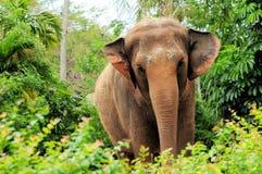 Женский азиатский слон Стоковая Фотография
