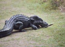 Женский американский аллигатор с ее младенцем Стоковые Фотографии RF