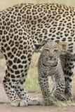 Женский африканский леопард гуляя с ее малым новичком, Танзания Стоковое фото RF