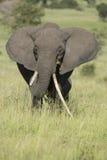 Женский африканский слон с длинним бивнем (africana Loxodonta) стоковое изображение