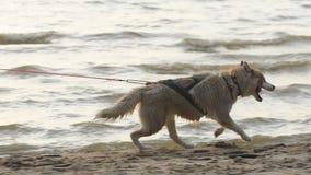 Женский бегун jogging с собаками сибирской лайки во время восхода солнца на пляже сток-видео