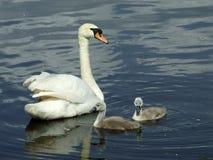 Женский безгласный лебедь с молодыми лебедями Стоковое Изображение