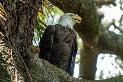 Женский белоголовый орлан Стоковые Изображения RF