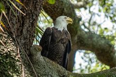 Женский белоголовый орлан Стоковое Фото