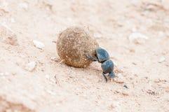 Женский бескрылый шарик навоза завальцовки жука навоза Стоковое Изображение