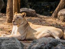 Женский белый лев загорая на солнечный день Стоковое Фото