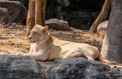 Женский белый лев загорая на солнечный день Стоковая Фотография