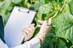 Женский био техник проверяя листья огурца Стоковое Изображение