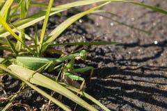 Женский богомол на лезвиях травы Стоковые Изображения RF