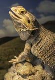 Женский бородатый дракон стоковые изображения rf