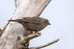 Женский Брайн-головый Cowbird, Molothrus, ater стоковое изображение