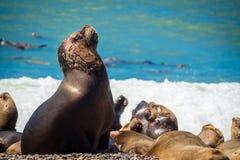 Женский волк моря в побережье Аргентины Стоковое Изображение