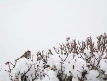 Женский воробей дома na górze покрытого снег куста verbascum Стоковое Фото
