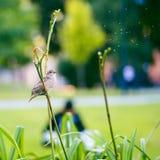 Женский воробей на стержне цветка стоковые фотографии rf