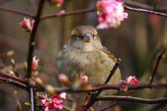 Женский воробей садясь на насест на ветви между цветениями пинка зацветая в зиме Стоковые Изображения