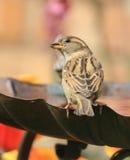 Женский воробей сидеть на ванне птицы Стоковое фото RF
