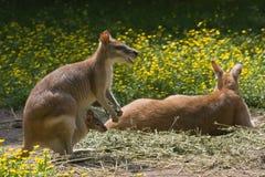 женский горизонтальный wallaby мешка joey Стоковые Изображения
