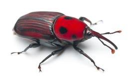 женский долгоносик красного цвета ладони Стоковое Изображение RF
