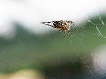 Женский европейский паук сада на паутине outdoors стоковые фотографии rf