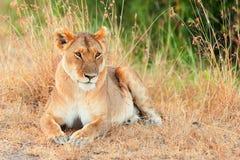 Женский лев в Masai Mara Стоковое Фото
