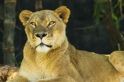 Женский лев смотря камеру Стоковые Изображения RF