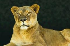 Женский лев смотря камеру Стоковые Изображения