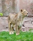 Женский лев смотря правый наблюдать Стоковая Фотография