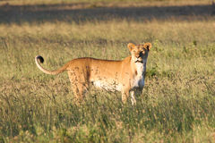 Женский лев стоя в траве Стоковые Фотографии RF