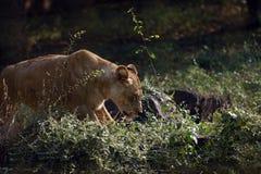 Женский лев Стоковые Фото