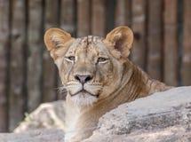 Женский лев Стоковая Фотография RF