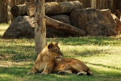 Женский лев Стоковое фото RF