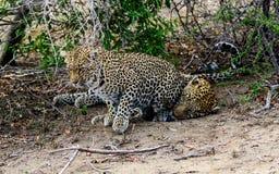 Женский леопард пробуя выпытать реакцию от мужчины Стоковые Фотографии RF