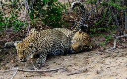 Женский леопард пробуя поманить ее мужского партнера Стоковая Фотография RF