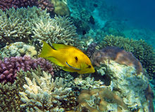 женский желтый цвет wrasse slingjaw Стоковая Фотография RF