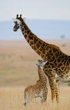 Женский жираф с младенцем в саванне Кения Танзания 5 2009 в марше maasai танцульки Африки ратников села Танзании восточном выполн стоковые изображения rf