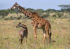 Женский жираф с младенцем в саванне Кения Танзания 5 2009 в марше maasai танцульки Африки ратников села Танзании восточном выполн стоковые фотографии rf