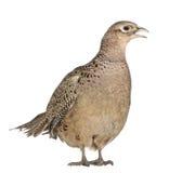 женский золотистый фазан Стоковое фото RF
