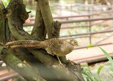 Женский золотой фазан Стоковое Фото