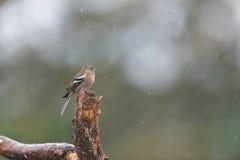 Женский зяблик на ветви Стоковая Фотография RF
