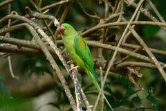 Женский длиннохвостый попугай Alexandrine (eupatria ожерелового попугая) Стоковая Фотография RF