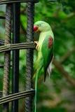 Женский длиннохвостый попугай Alexandrine (eupatria ожерелового попугая) Стоковые Изображения RF