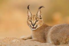 Женский Каракал отдыхая, Южная Африка Стоковая Фотография RF