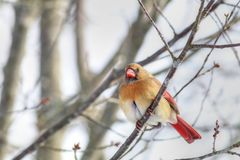 Женский кардинал садить на насест на ветви Стоковое Фото