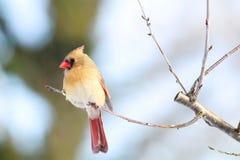 Женский кардинал садить на насест на ветви II Стоковое Изображение RF