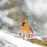 Женский кардинал в снеге Стоковые Фотографии RF