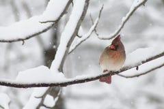Женский кардинал зимы Стоковое Изображение RF