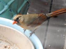 Женский кардинал с опаской наблюдая на контейнере Стоковые Изображения