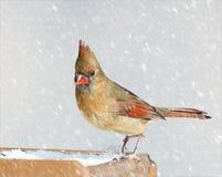Женский кардинал Стоковое Изображение RF