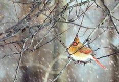 Женский кардинал Стоковые Фото